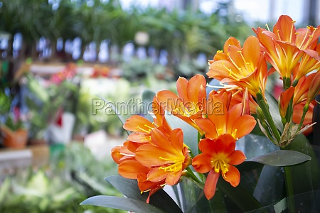 bright orange potted clivia flowers on