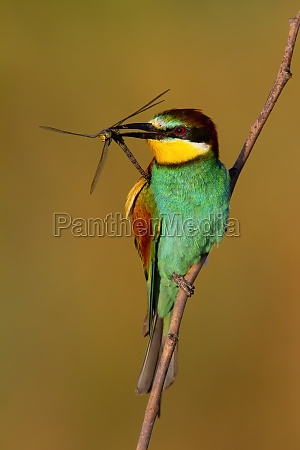 european bee eater holding dragonfly in