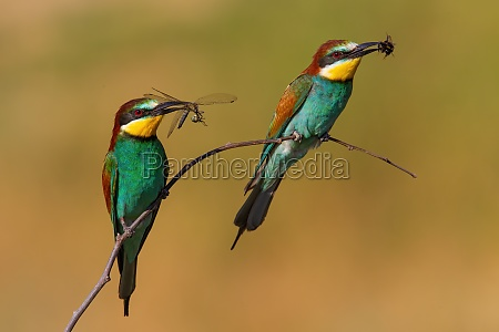 two european bee eaters with a