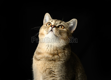portrait of a gray kitten scottish