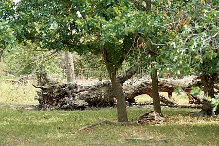 fallen giant tree in the wiesenpark