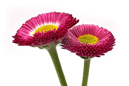 lawn daisy red