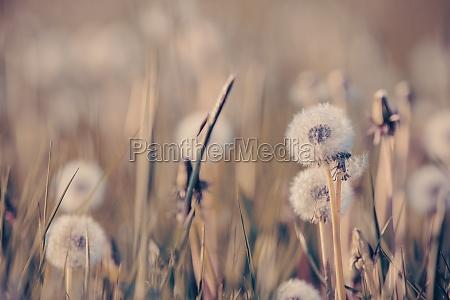 beautiful spring flower dandelion in meadow