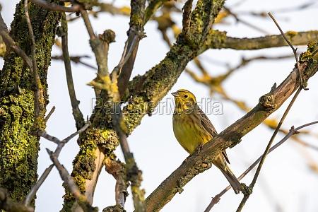 bird yellowhammer europe wildlife