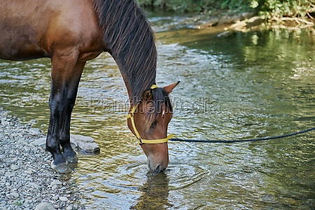 horse drinking from river
