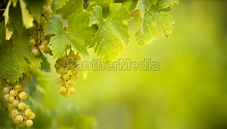 ripe grapes on vine growing in
