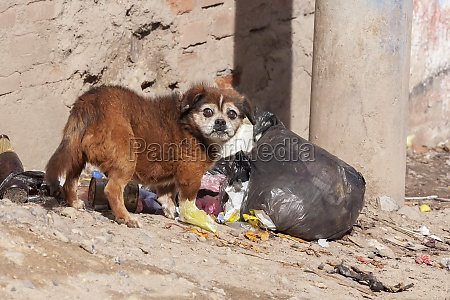 a dog stands by a ripped