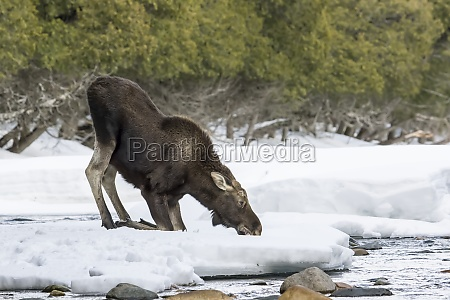 a ten month old bull moose