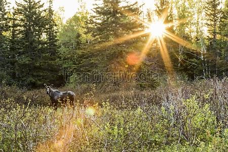 young bull moose alces americanus standing