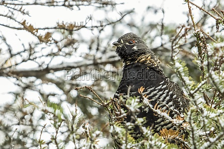 spruce grouse falcipennis canadensis perched in