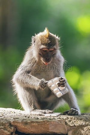 monkey macaca fascicularis with a pack