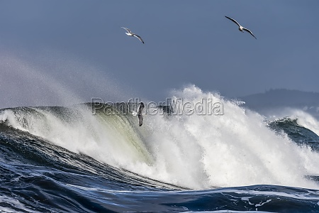 gulls fly with the breaking waves