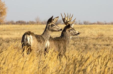 mule deer buck and doe odocoileus