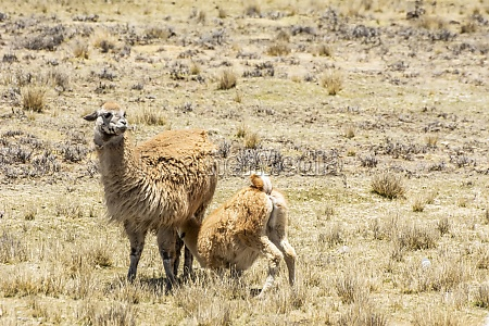 baby, alpaca, (vicugna, pacos), feeding, from - 29679444