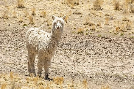 white, alpaca, (vicugna, pacos), looking, at - 29679477