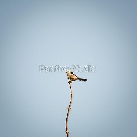 tail tit on a twig