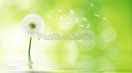 dandelion flower with flying feathers on