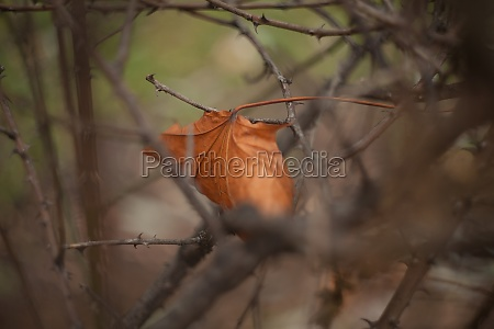 autumn leaf stuck in dry branches