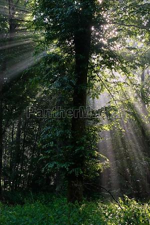 early morning sun shining through hornbeam