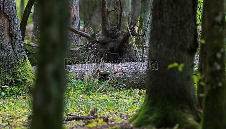 old broken spruce log lying in