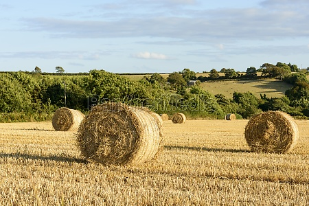 corn sheaves and hilly countryside cornwall