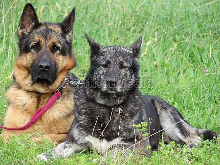 beautiful protective watchdogs defense security tranquility