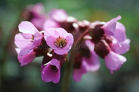 macro view of bergina trumpet blossoms