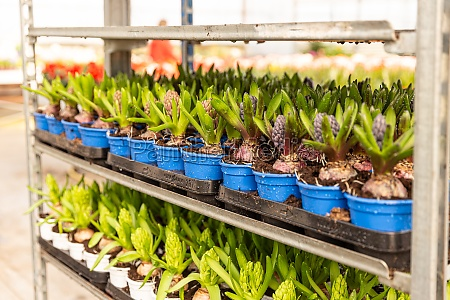 spring flowers hyacinth