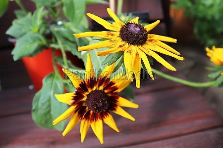 closeup of black eyed susan flowers