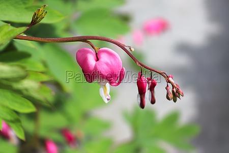 closeup view of bleeding heart flowers