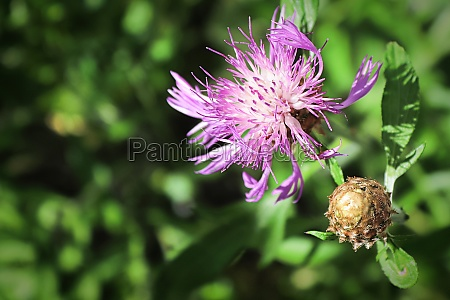 background of pink knapweed flowers in