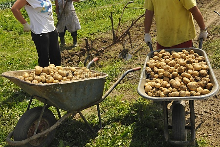 seasonal workers at the potato harvest