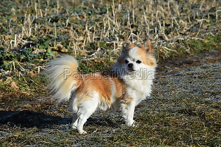small long haired red white chihuahua