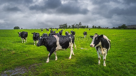 herd of cattle on fresh green