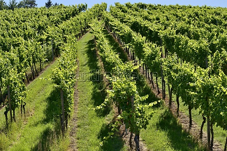 hilly vineyard 3 stuttgart
