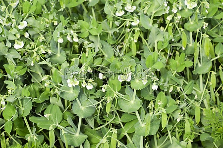 pea beds in the garden green