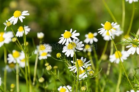glade flowering chamomile