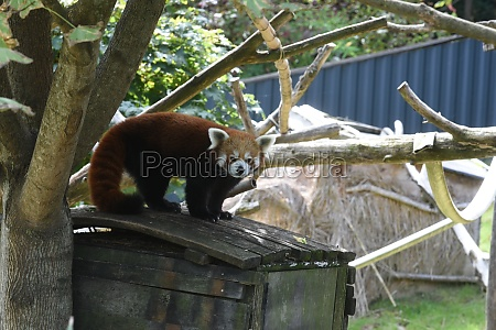 a red panda in an animal