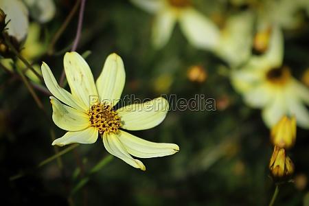 closeup of tickseed flowers growing in