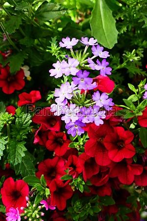 petunias and verbenas