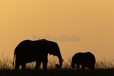 african bush elephant and calf at