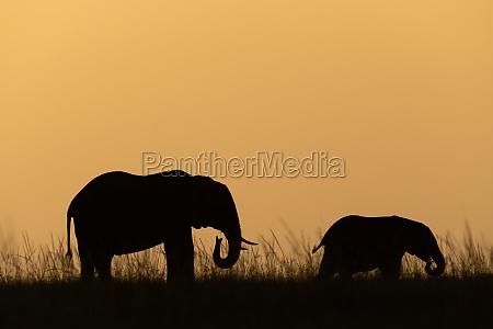 african bush elephant and calf on