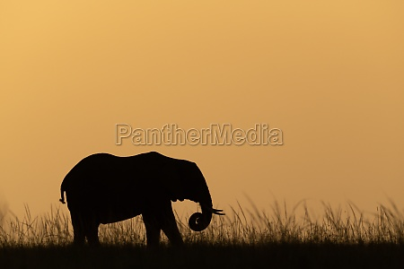 african bush elephant coils trunk at