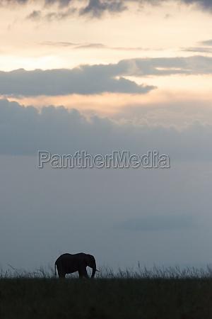 african bush elephant crosses horizon at
