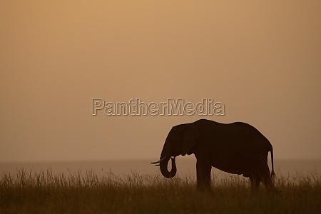 african bush elephant eats grass at