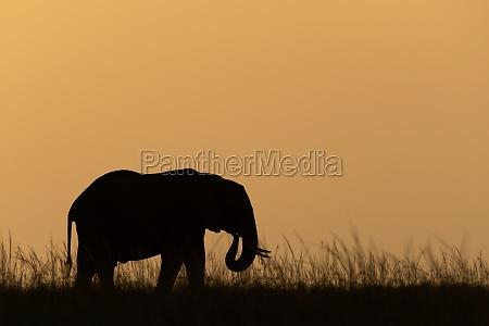 african bush elephant facing right at