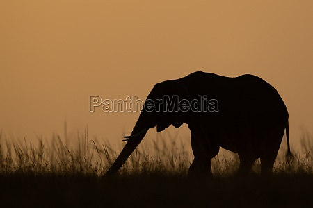 african bush elephant stretches trunk on