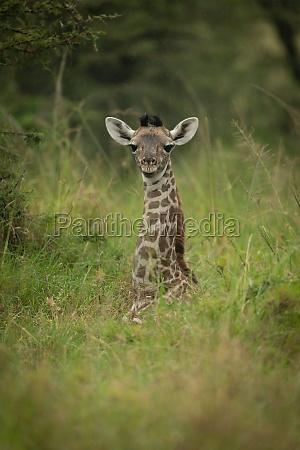 baby masai giraffe lies in long