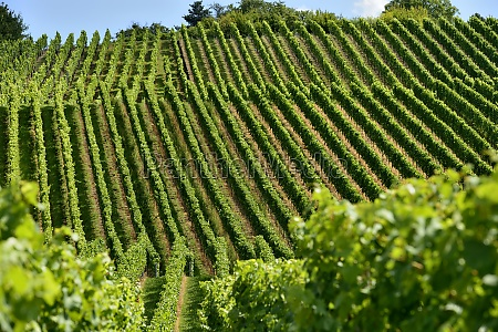 hilly vineyard 15 stuttgart