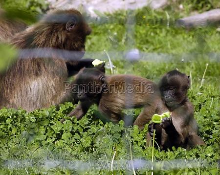 gelada baboon or bleeding heart monkey